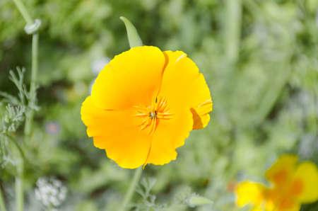 yellow flower fields Stock Photo