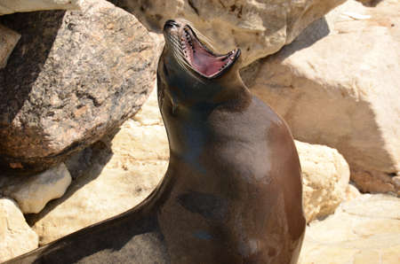 sea lion with the mouth open