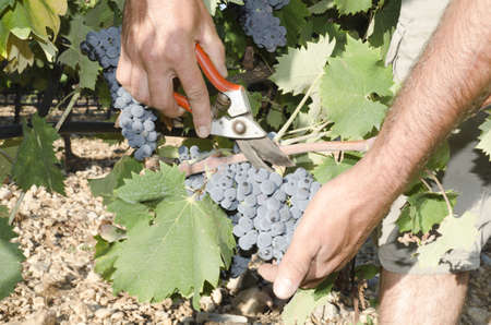 grape picker hands