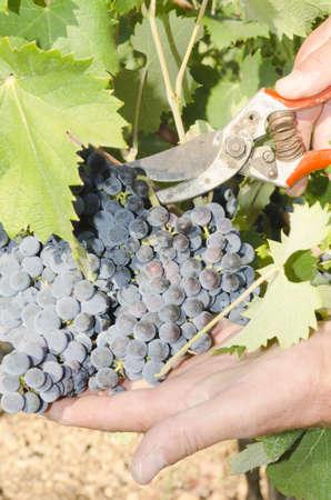 grape picker in action