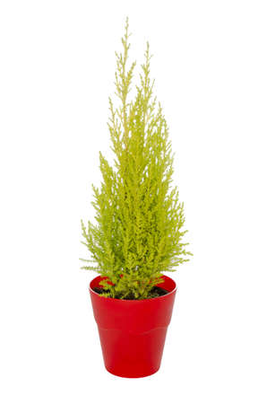 green fir in a red pot isolated on a white background