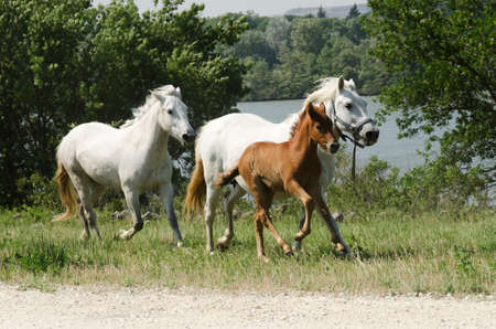 horses and a foal galloping Stock Photo