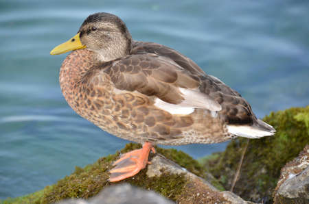 Wild duck posing on a rock by the lake Stock Photo