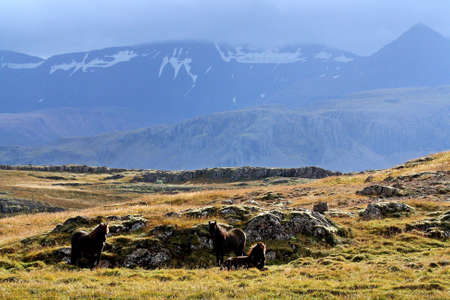 Landscape of Iceland with icelandic horses and snow mountains.