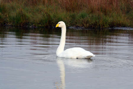 The whooper swan (Cygnus cygnus) in Iceland.