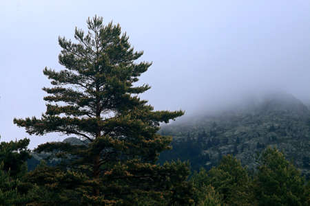 Pine (Pinus sylvestris) among the mist on the mountain. 版權商用圖片 - 125202142