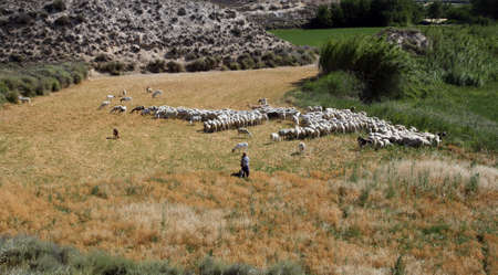 Shepherd with his flock of sheep in a sunny and hot day of summer in Belchite (Spain).