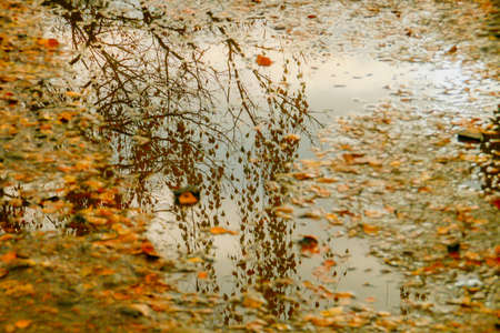 A puddle with fallen leaves reflecting the tree from which they have fallen. Autumnal Image