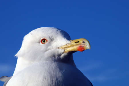 Head of a yellow-legged gull (Larus michahellis).