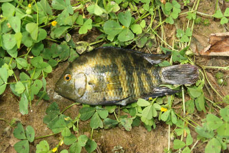 Australoheros facetum, fish of the Cichlid family, most are restricted to rivers in southamerica, is an invasive species in Guadiana river in Spain. Adult.