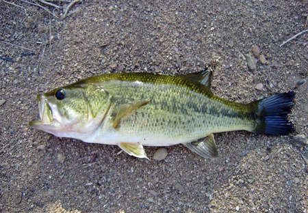 Largemouth bass (Micropterus salmoides), freshwater fish from USA introduced in Spain in the forties of the 20th century. Banque d'images