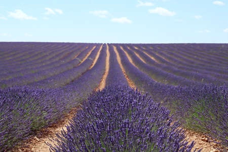 Lavender fields in bloom in Brihuega, Guadalaja, Spain. Landscape of endless rows of this aromatic medicinal plant in bloom on the hot days of July.