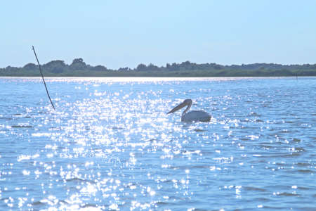 Pelican swimming in the waters of the Danube delta in Romania. The strong summer sun reflected on the surface of the lagoon with the silhouette of a pelican floating on the water.