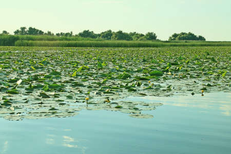 Water lilies from the marshy areas of the Danube Delta. Aquatic vegetation of inland lagoons in the delta in the area of Romania, near Tulcea.