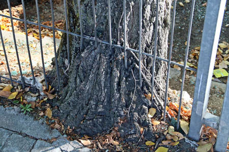 The trunk of a tree on a sidewalk in Madrid, Spain. Trunk of an elm tree that grew into the metal fence next to the sidewalk.