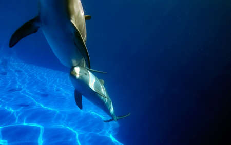 Pair of dolphins in a clear water pool. Underwater photography. Dolphins mother and daughter looking at the camera.