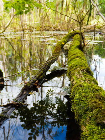 arbre: Arbre mort dans un marais
