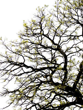 fond: Branche sur fond blanc