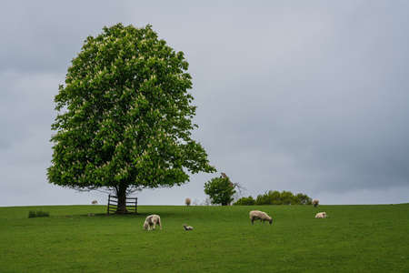 Wray castle grounds, Lake District, United Kingdom - May 9, 2019 : Lonely tree on the grass lands around Wray castle, with sheep grazing on them