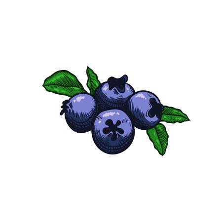 Blueberry vector illustration for Logo and Packaging. Vector drawing, handrawn, vintage, line art of Blueberry on white background Ilustração
