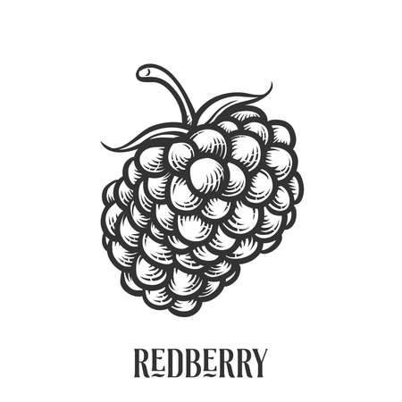 Redberry or Raspberry vector illustration for Logo and Packaging. Vector drawing, handrawn, vintage, line art of Redberry or Raspberry on white background