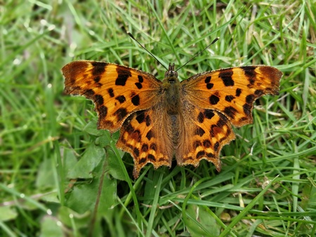 Comma butterfly on a grass lawn with open wings Stock Photo