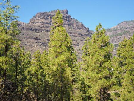 Pine trees and mountain against a blue sky near San Bartolome, Gran Canaria
