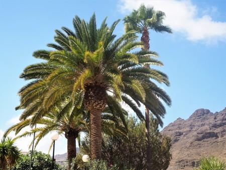Palm trees against a blue sky, Mogan, Gran Canaria