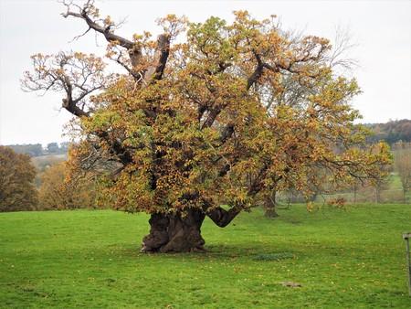 Ancient horse chestnut tree, Ripley, North Yorkshire, UK