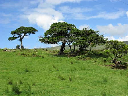 Trees in a meadow with a blue sky on Flores island, The Azores Stock Photo