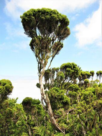Tall tree heather plant, Sao Jorge island, The Azores Stock Photo