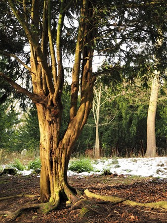 Ancient yew tree in a wood with snow on the ground