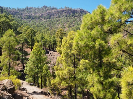 Canarian pine trees near St Bartolome in the central mountains of Gran Canaria