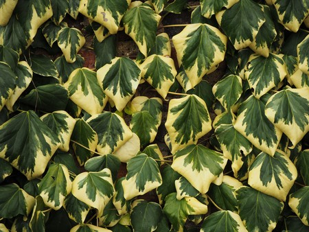 Green and yellow variegated English ivy leaves growing against a wall