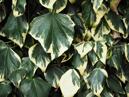 Large green and yellow variegated ivy leaves growing against a wall Stock Photo