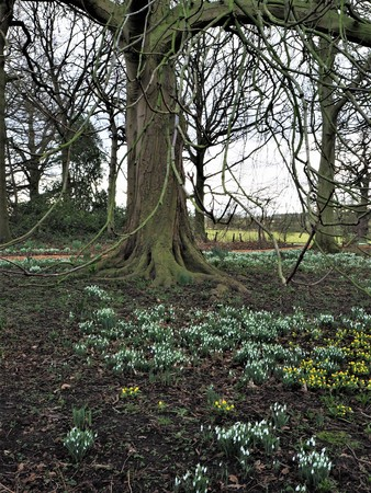 Snowdrops and winter aconites flowering beneath a tree in a park in winter, England