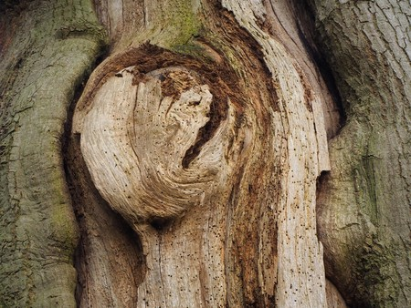 Ancient oak tree trunk with a knot and numerous small holes made by boring insects