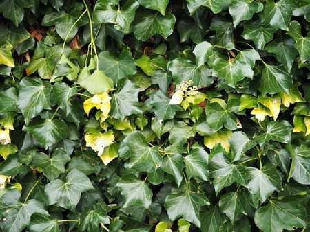 Dark green and yellow ivy leaves growing against a wall, England Stock Photo