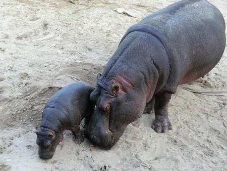 Pygmy hippopotamus with baby Stock Photo