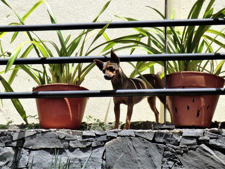 Alert dog looking through a railing on a balcony between potted plants