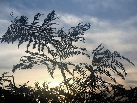 Fern leaves silhouetted against a cloudy sky at sunset