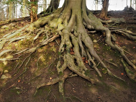 Tree roots growing over an eroded slope in a wood