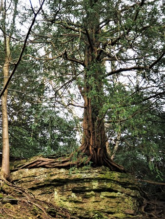 Ancient yew tree growing on bare rock