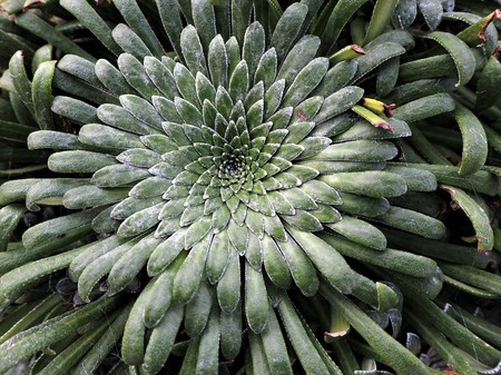 Succulent plant with radially symmetrical leaves and white frost