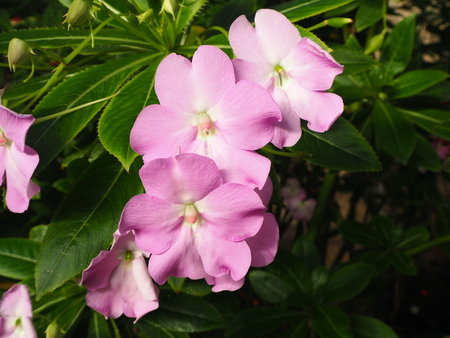 Pink impatiens flowers with green leaves and buds Stock Photo