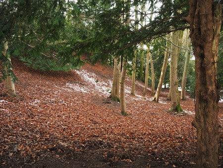 Ancient yew tree trunk on a wooded hillside with light snow on the ground Stock Photo