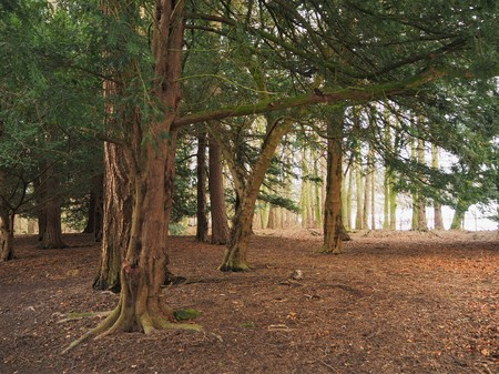 Ancient yew tree trunks in a wood in winter
