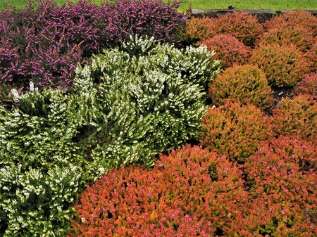 Mixed heather plants flowering in a garden in winter Stock Photo