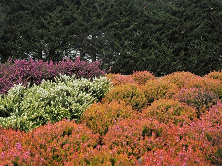 Mixed heather plants of different colours flowering in a park in winter