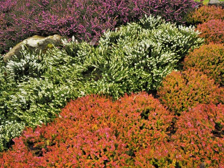 Mixed heather plants flowering in a flower bed in winter